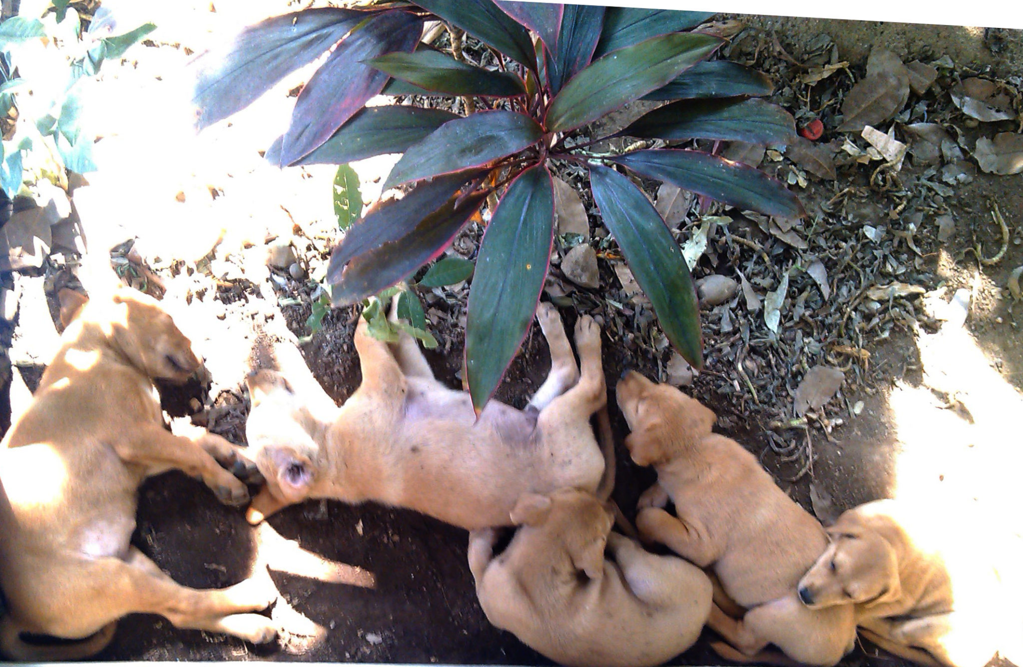 New born dogs sleeping in the porch in Pai - Happymind Travels