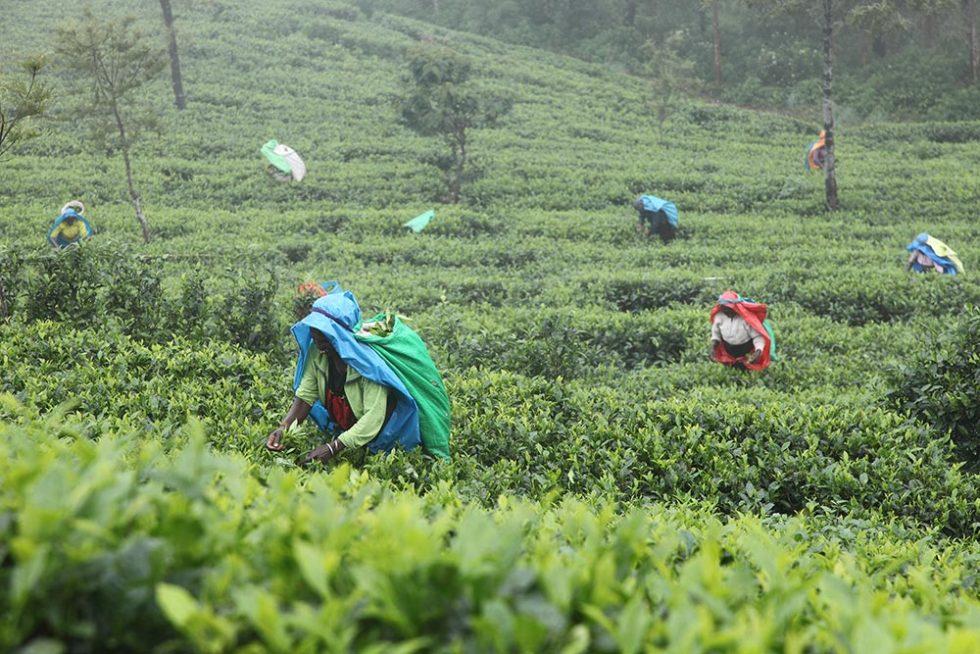Tea Harvest in Nuwara Eliya during the rainy season | Sri Lanka