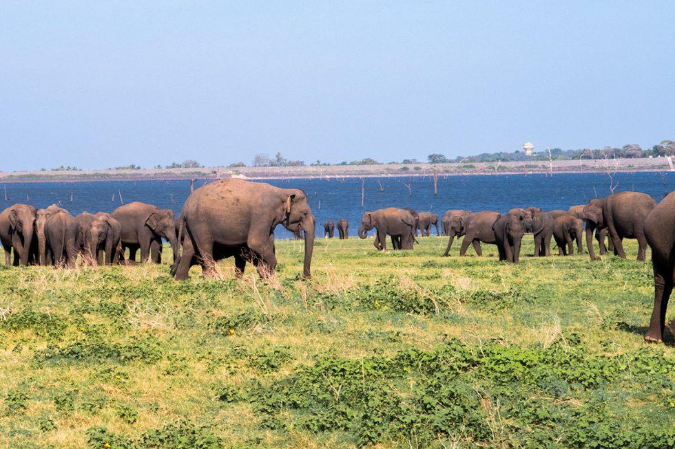 Elephants in the Kaudulla Park - Sri Lanka | Happymind Travels