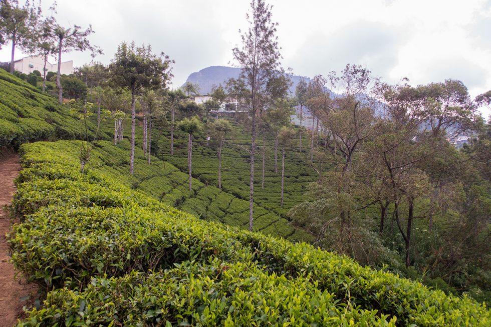 Tea Plantation at Pedro Tea Factory in Nuwara Eliya - Sri Lanka | Happymind Travels