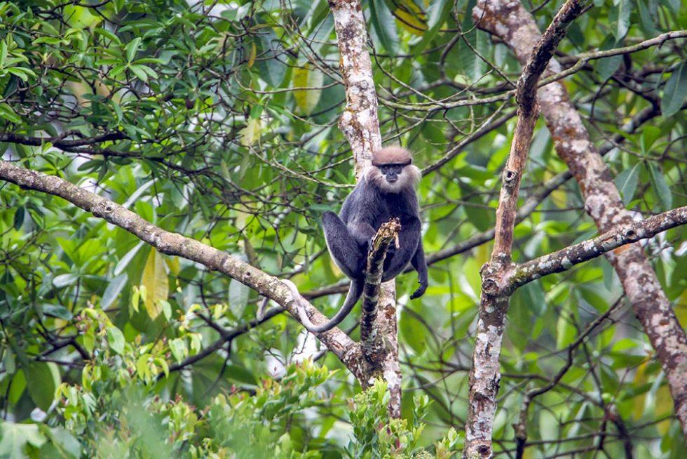Monkey Purple face langur in Sinharaja Forest - Sri Lanka | Happymind Travels