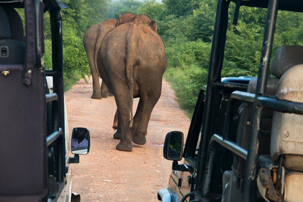 Elephants on the street of Udawalawe National Park - Sri Lanka | Happymind Travels