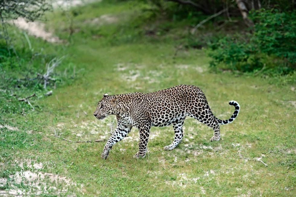 Leopard in Yala National Park - Sri Lanka | Happymind Travels