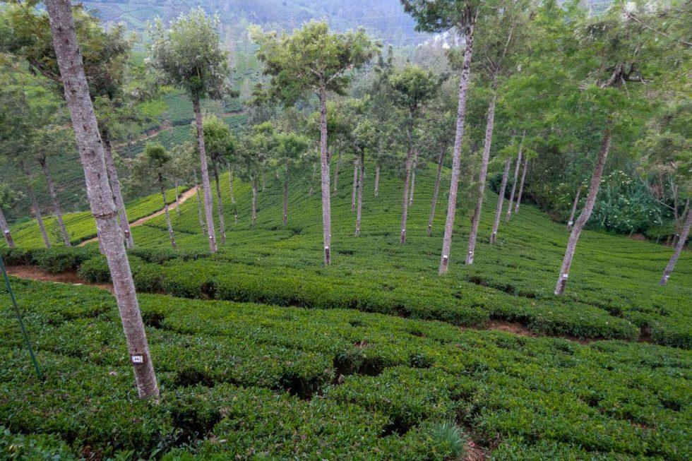 Pedro Tea Factory in Nuwara Eliya, Sri Lanka | Happymind Travels